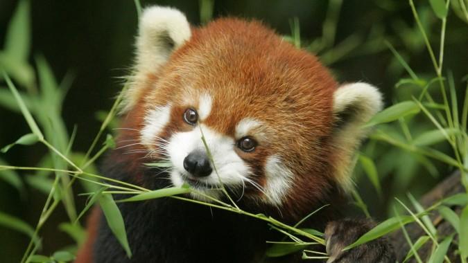 Red Panda Wallpapers Free Red Panda Wallpaper Download Wallpapertip