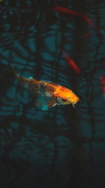 Wallpaper Fish Carp Koi Aquarium Koi Fish Pond Wallpaper Iphone 720x1280 Download Hd Wallpaper Wallpapertip