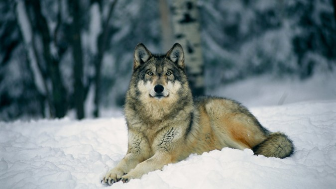 13 138766 wolf hd wallpapers 1080p wolf laying in the