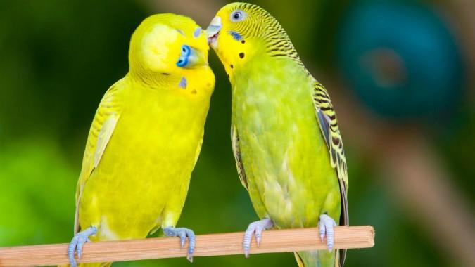 Love Birds Wallpapers Free Love Birds Wallpaper Download Wallpapertip