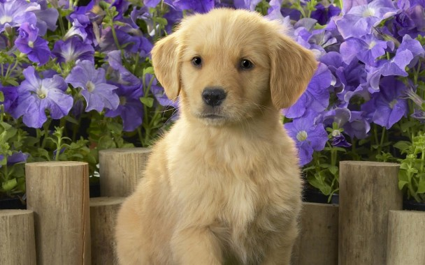 Download Free Cute Dog Wallpaper Hd For Android The Golden Retriever Puppy With Purple Flowers 1600x1000 Download Hd Wallpaper Wallpapertip