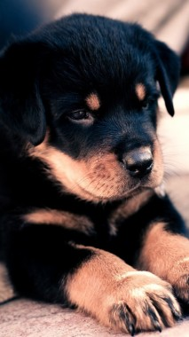 Wallpaper Puppy Rottweiler Cute Baby Puppy Baby Cute Dog 938x1668 Download Hd Wallpaper Wallpapertip