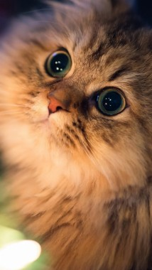 Cats Colorful Meow Cats Iphone Background 500x888 Download Hd Wallpaper Wallpapertip