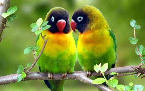 Desktop Parrot Bird Wallpaper Download Love Birds Hd 1440x900 Download Hd Wallpaper Wallpapertip