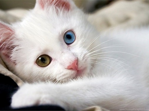 Live New Cute Cats Wallpapers Free Download Cat Free Kitten White Cat With Different Colored Eyes 1400x1050 Download Hd Wallpaper Wallpapertip