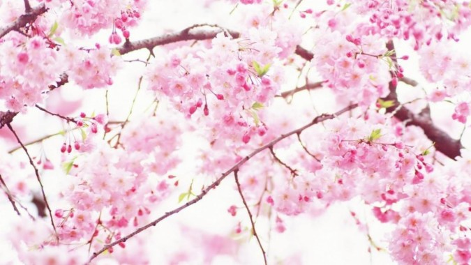 185 1855063 44 441245 wallpapers cherry blossom sakura cherry blossom