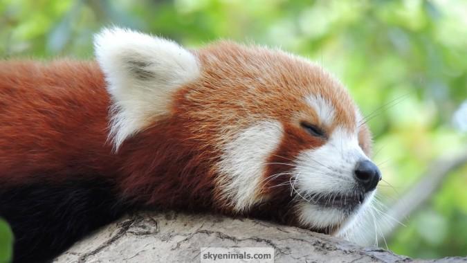 Desktop Background Red Panda 1920x1080 Download Hd Wallpaper Wallpapertip