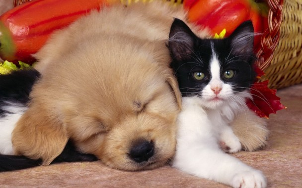 Cats Dogs And Chickens 1600x587 Download Hd Wallpaper Wallpapertip