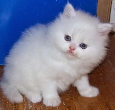 Beautiful Persian Cats Hd Wallpaper Persian Cat Cutest Kitten 939x900 Download Hd Wallpaper Wallpapertip