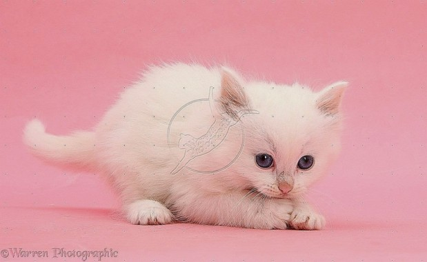 Cute Cat With Pink Background Wallpaper Basic Background Kitten 1249x766 Download Hd Wallpaper Wallpapertip