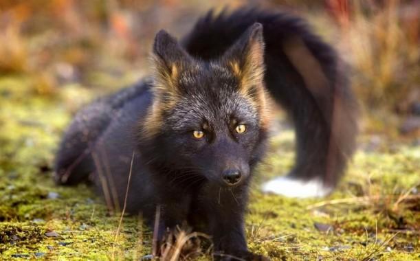 Rare Black Animals 61 Background Rare Silver Fox Animal 899x559 Download Hd Wallpaper Wallpapertip