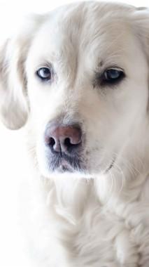 Golden Retriever Dog Phone Wallpaper Hd 1440x2560 Download Hd Wallpaper Wallpapertip