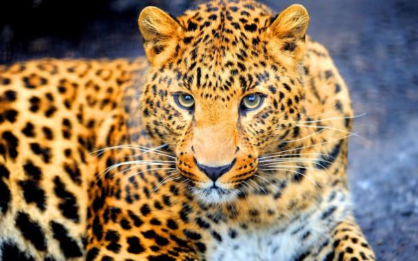 Jaguar Animal Images Download 1920x1200 Download Hd Wallpaper Wallpapertip