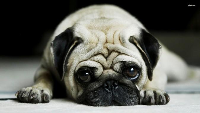Pug Dog 1600x900 Download Hd Wallpaper Wallpapertip