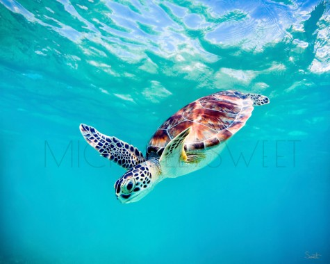 Baby Turtle Swimming Baby Sea Turtle Underwater 1280x1024 Download Hd Wallpaper Wallpapertip
