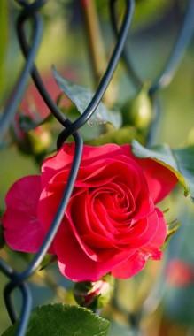 Rose Full Hd Beautiful - 768x1280 - Download HD Wallpaper - WallpaperTip