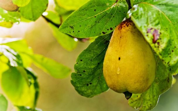 Grape Fruit Tree Wallpaper Wide Grapes Hd Wallpaper Download 1680x1050 Download Hd Wallpaper Wallpapertip