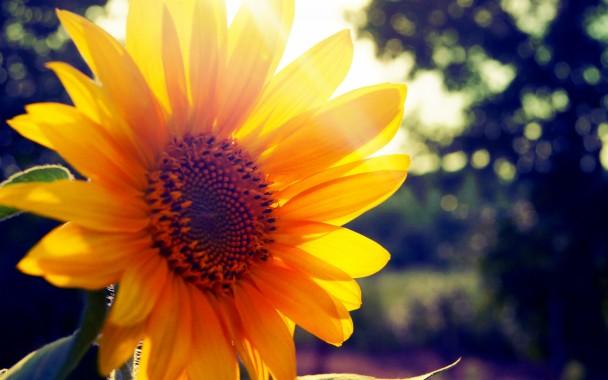 Free Sunflower Wallpaper Desktop 1600x900 Download Hd Wallpaper Wallpapertip