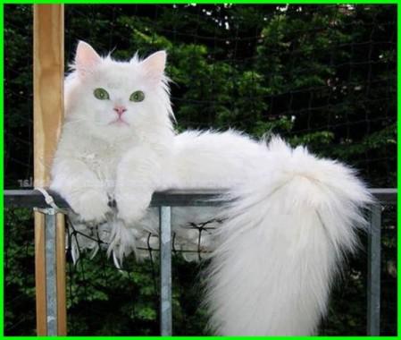 Gambar Kucing Anggora Besar Lucu Gambar Kucing Anggora Kucing Anggora Lucu Dan Imut 600x507 Download Hd Wallpaper Wallpapertip