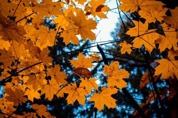 64 648698 maple daun musim gugur cabang yellow leaves 4k