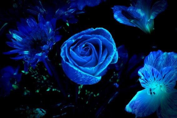 Blue Glow In The Dark Flowers 1600x1071 Download Hd Wallpaper Wallpapertip