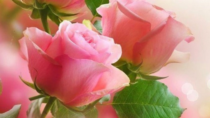 Beautiful Red Rose Whatsapp Dp 1440x900 Download Hd Wallpaper Wallpapertip