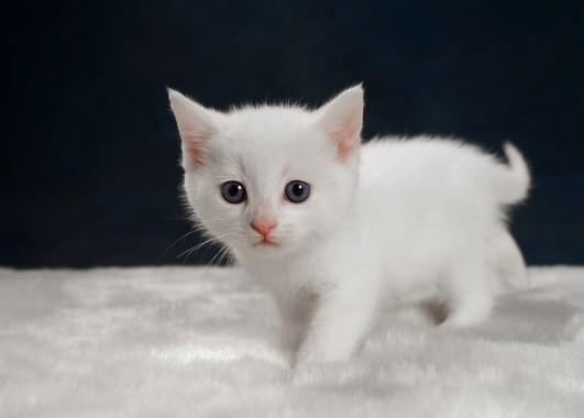 Baby White Cute Cats 1024x768 Download Hd Wallpaper Wallpapertip