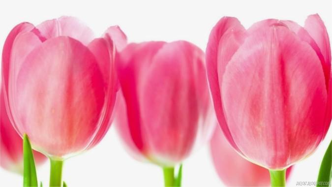 Wallpaper Bunga Tulip Pink Mothers