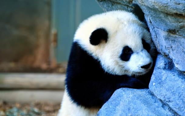 8 89971 gambar panda lucu gambar panda panda wallpaper for