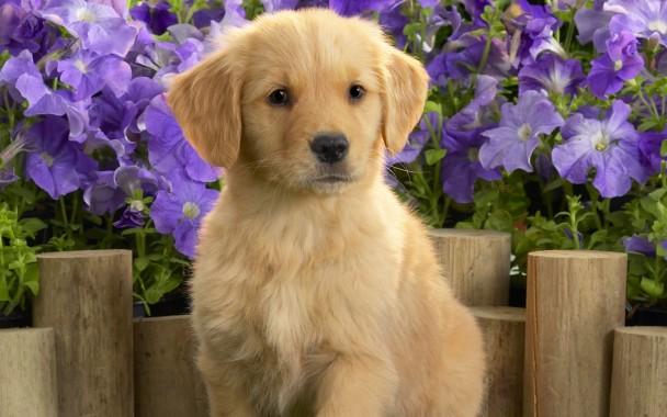 Golden Retriever Puppy Desktop Wallpaper Desktop Wallpaper Puppy 1920x1080 Download Hd Wallpaper Wallpapertip