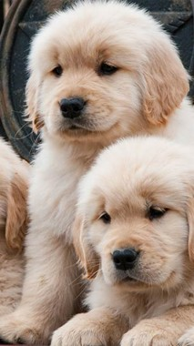 Golden Retriever Puppy Iphone 422x750 Download Hd Wallpaper Wallpapertip