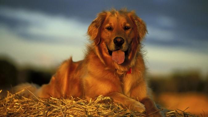 Dog Wallpaper Golden Retriever 1920x1200 Download Hd Wallpaper Wallpapertip