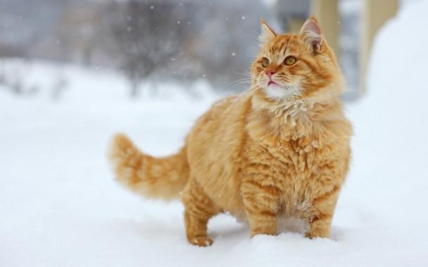 Most Beautiful Brown Fluffy Cat Desktop Background Cute Fluffy Orange Cats 1920x1200 Download Hd Wallpaper Wallpapertip